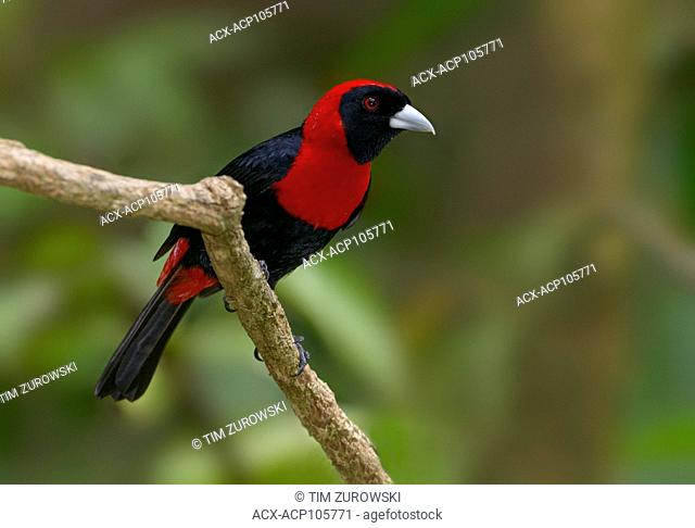 Crimson-collared-Tanager (Ramphocelus sanguinolentus) at the Nature Pavilion in La Virgen, Costa Rica