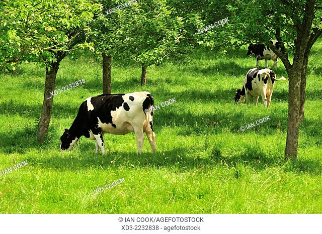 cattle grazing in an orchard, near Bayeux, Normandy, France