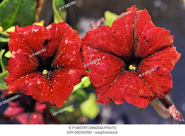 Red flower petunia colour, India
