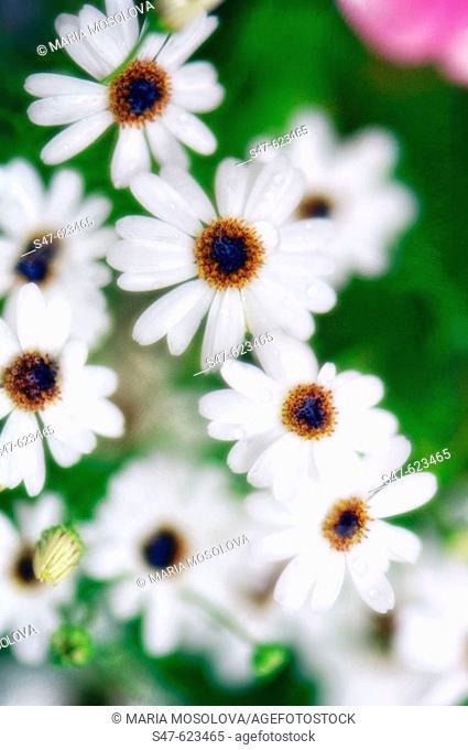 White Swan River Daisies. Brachycome iberidifolia. July 2006, Maryland, USA
