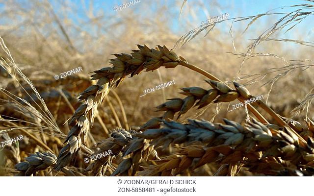 Ripe wheat, triticum