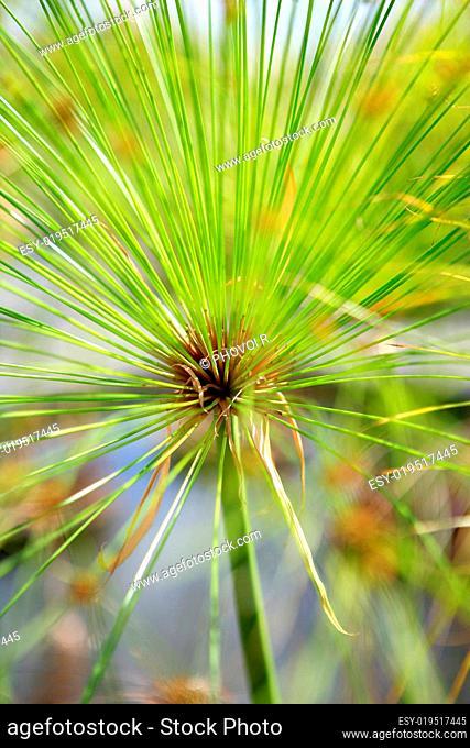 Aquatic plant called Cyperus papyrus 'Nanus'
