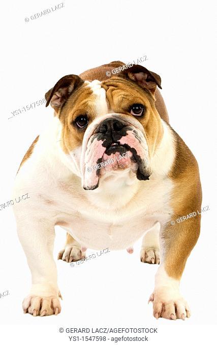 English Bulldog, Female against White Background