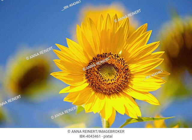 Sunflower (Helianthus annuus), Germany