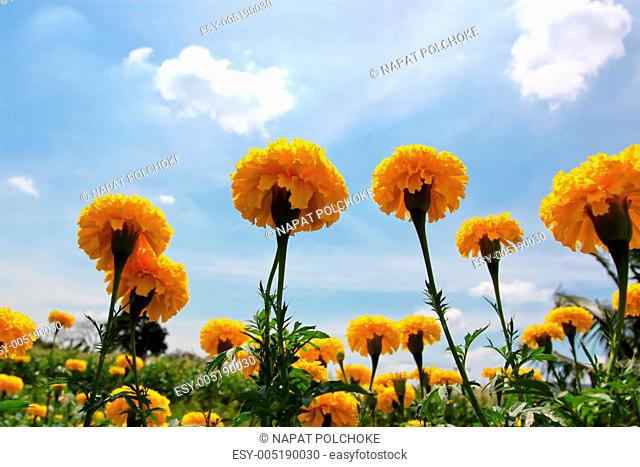 Marigold on the background of blue sky