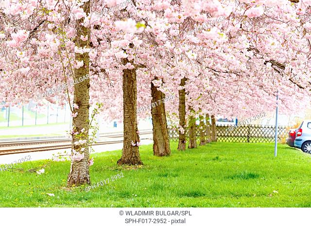Wishing trees (Cassia bakeriana craib)