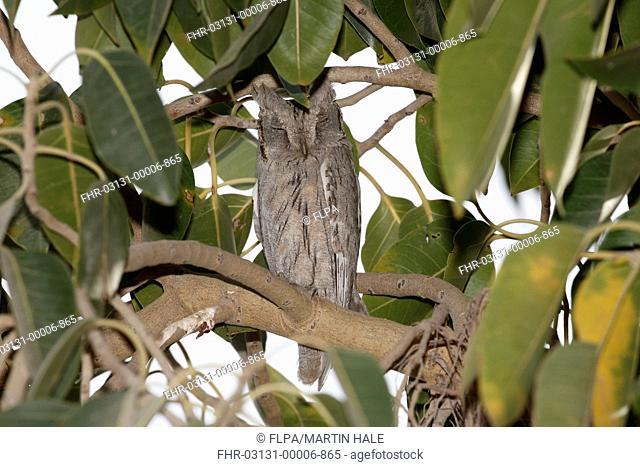 Pallid Scops-owl (Otus brucei) adult, roosting in tree during daytime, Little Rann of Kutch, Gujarat, India, February