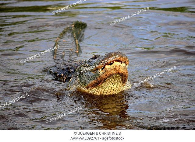 American Alligator (Alligator mississipiensis) adult portrait feeding in water, Florida, USA