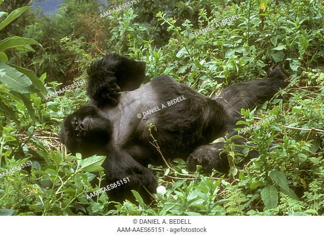 Reclining Mountain Gorilla (Gorilla g. beringei), Rwanda