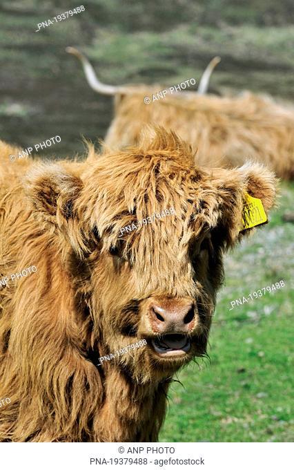 Highland Cow Bos domesticus - Isle of Skye, Inner Hebrides, Highland, Scotland, Great Britain, Europe