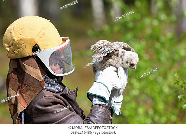 Europe,Finland,Kuhmo area,Kajaani,Ural owl (Strix uralensis),a researcher wearing a helmet ( to protect him from the attack of the adult female)is ringing a...