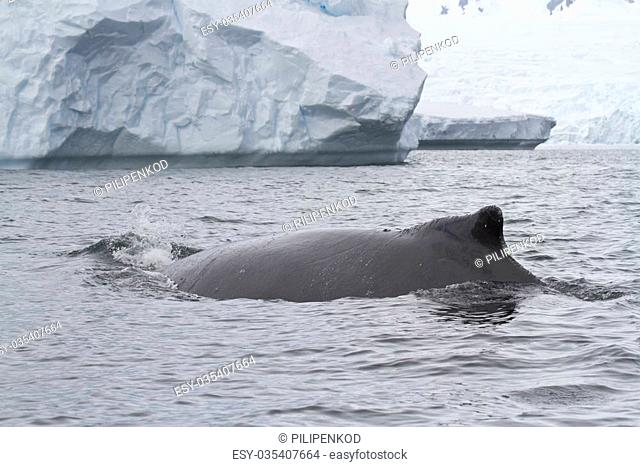 humpback whale swims near an iceberg autumn overcast day
