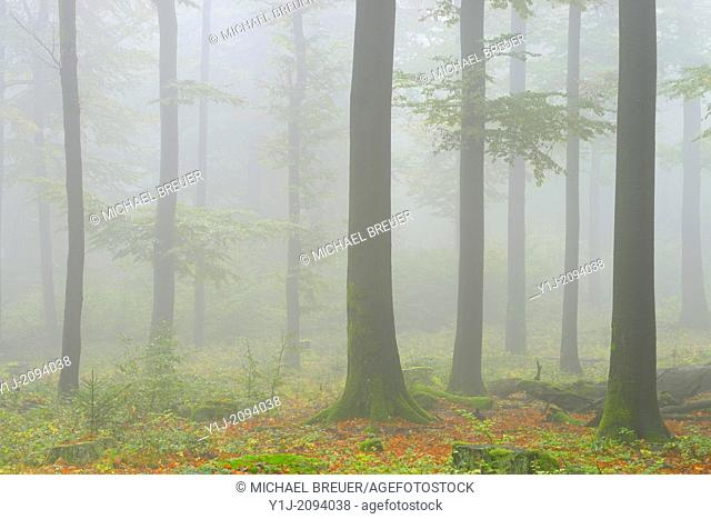 Beech forest (Fagus sylvatica) in early morning mist, Spessart, Bavaria, Germany, Europe