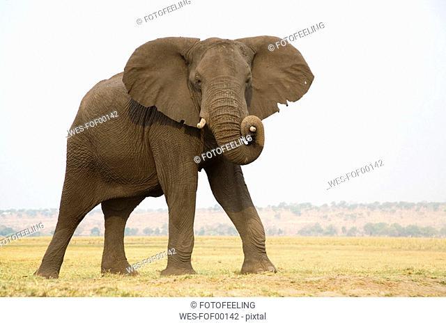 Africa, Botswana, Chobe National Park, Elefant