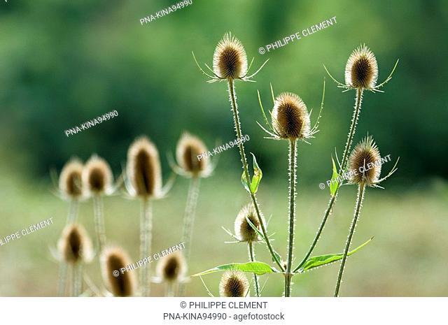 Teasel Dipsacus fullonum - Parc naturel regional de La Brenne, Indre, Centre, France, Europe