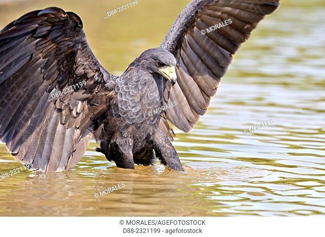South America,Brazil,Mato Grosso,Pantanal area,Great black hawk (Buteogallus urubitinga),