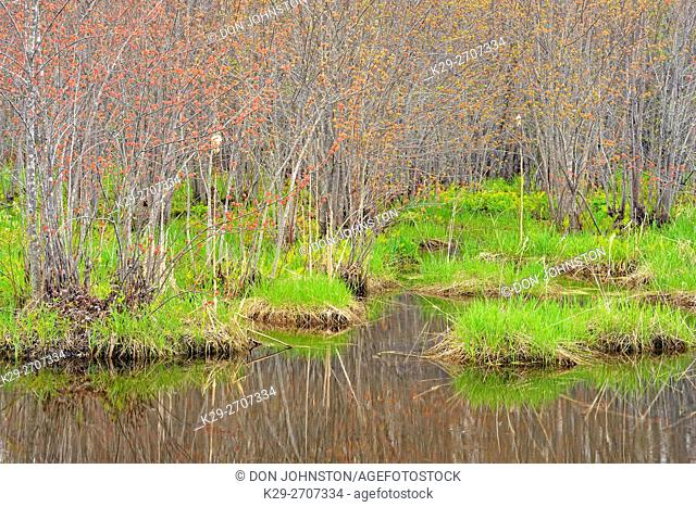 Spring growth in a wetland- grasses and marsh marigolds under a canopy of swamp maple, Townline Road, near Sheguiandah, Manitoulin Island, Ontario, Canada