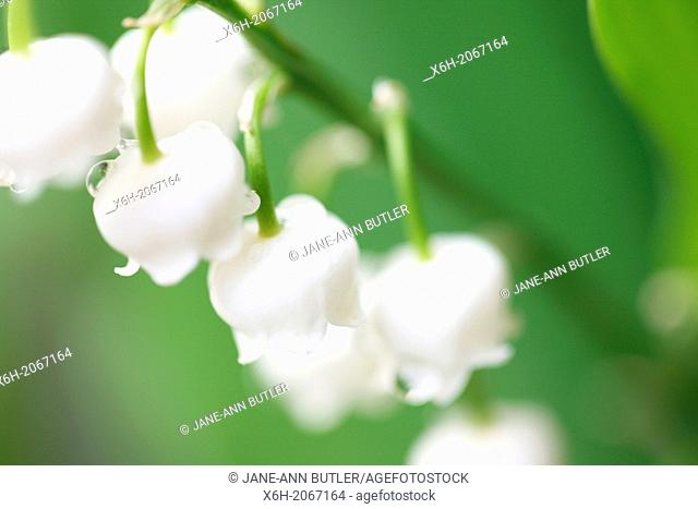 soft focus and romantic lily of the valley - fine art photography