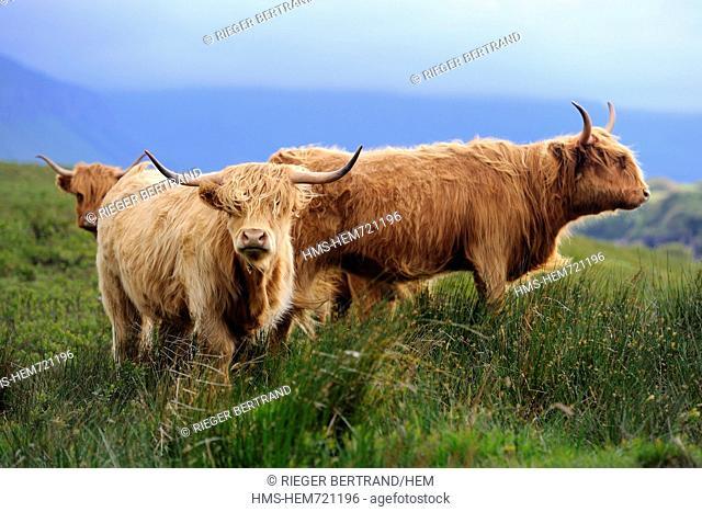 United Kingdom, Scotland, Highland, Inner Hebrides, Isle of Mull, Highland cattle