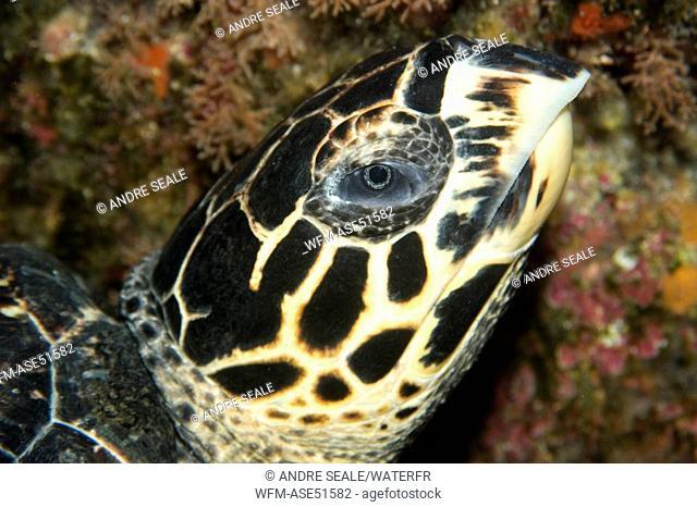 Hawksbill Turtle, Eretmochelys imbricata, Saint Peter and Paul Rocks, Brazil