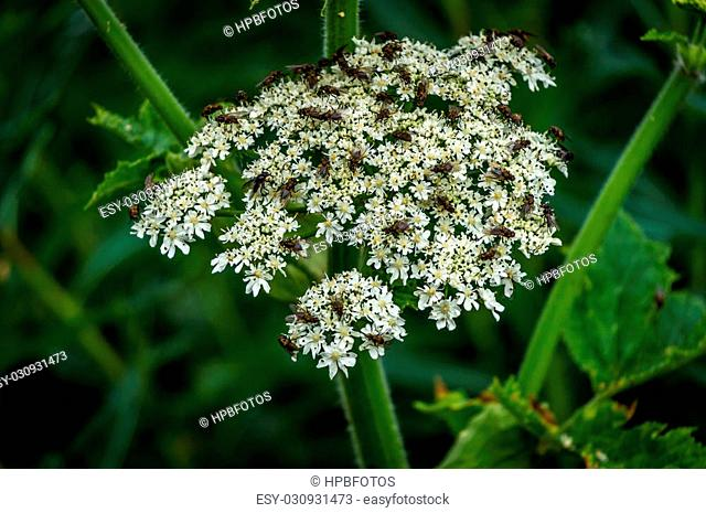 Lots of Flies on a White Valerian Flower in the High Alpine of the Shuswap Highlands and part of the Sun Peaks ski resort in central British Columbia