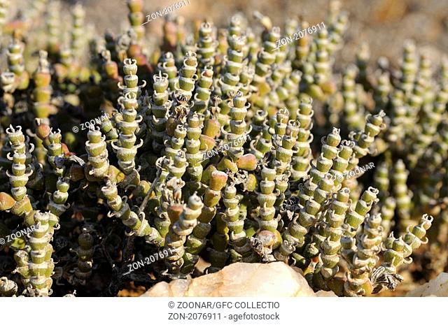 Brownanthus pubescens, Richtersveld National Park, Südafrika / Brownanthus pubescens, Richtersveld Transfrontier National Park, South Africa