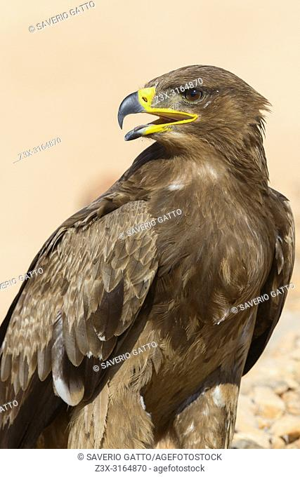 Steppe Eagle, Close up, Salalah, Dhofar, Oman (Aquila nipalensis)