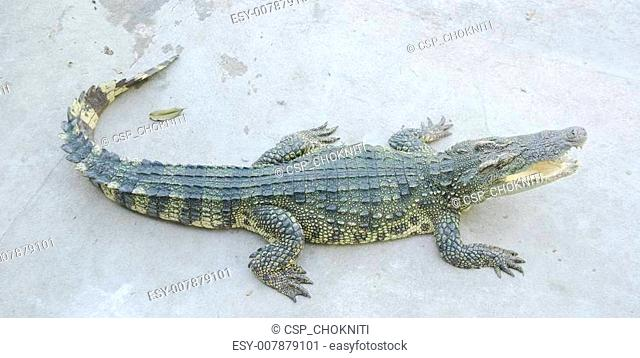 Portrait of big crocodile at the farm