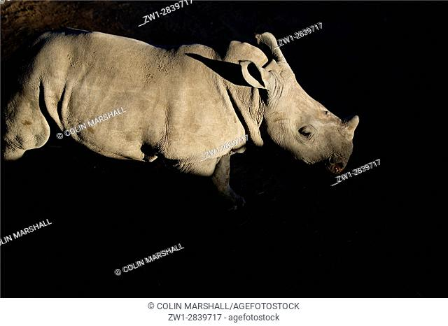 White Rhinocerous (Ceratotherium simum) calf in shadow, Ant's Nest Reserve, near Vaalwater, Limpopo province, South Africa