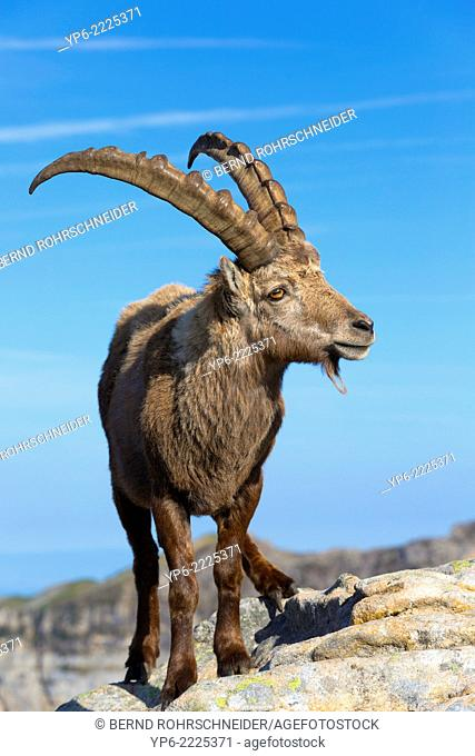 male Alpine Ibex (Capra ibex) standing on rock, Niederhorn, Switzerland
