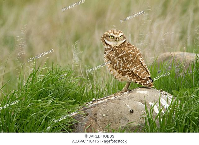 Burrowing Owl, Athene cunicularia, Grasslands, Great Basin Desert Tour, United States, Washington, USA