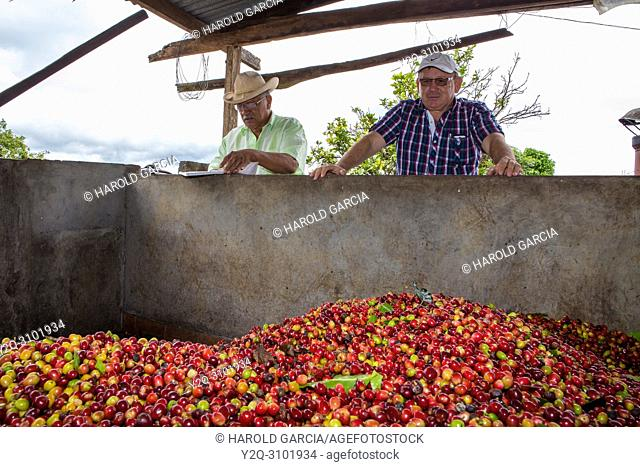 Farm owner and supervisor observes how workers unload coffee beans collected in a pool to process them in the plantation