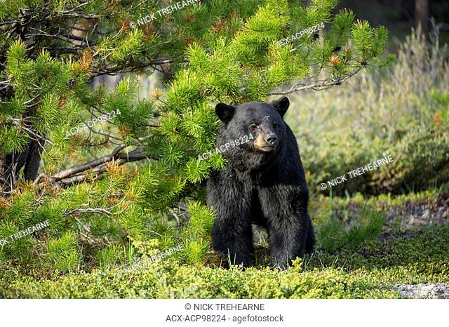 Ursus americanus, black bear, rocky mountains, Alberta, Canada