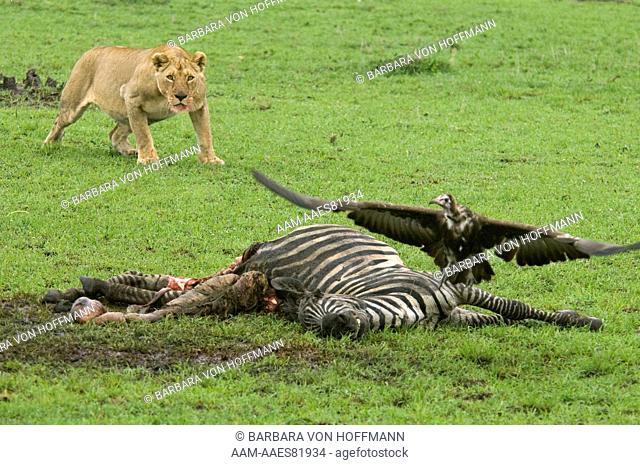 Lioness guarding zebra kill from a distance, Masai Mara Natl Reserve, Kenya