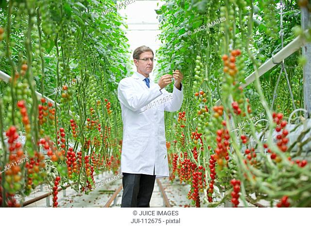 Food scientist examining vine tomato plants in greenhouse
