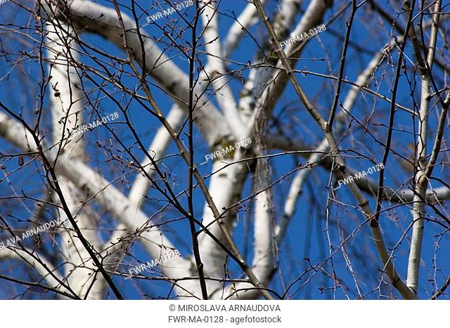 Betula jacquemontii, Birch