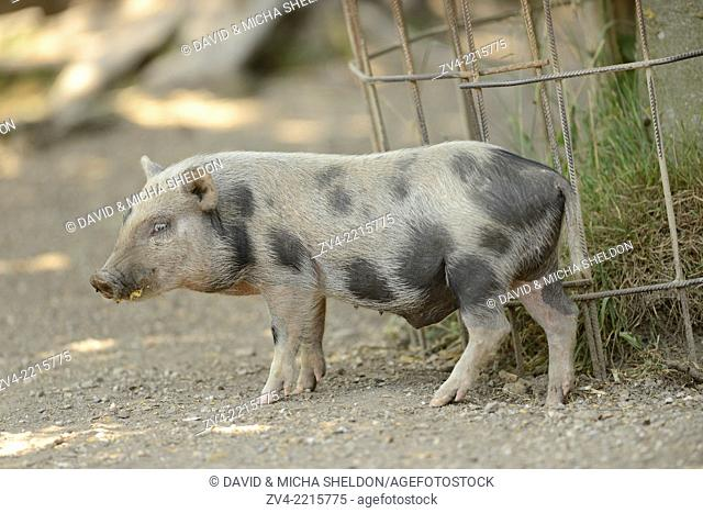 Close-up of a pot-bellied pig in spring
