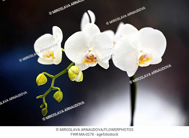 Orchid, Studio shot of white coloured flower