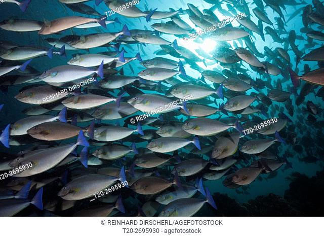 Shoal of Blue-tailed Unicornfish, Naso caeruleocauda, Raja Ampat, West Papua, Indonesia
