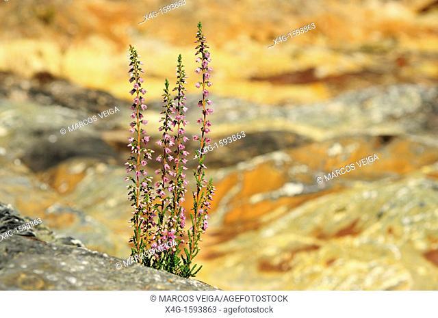 Common Heath Calluna vulgaris in harsh rocky environment