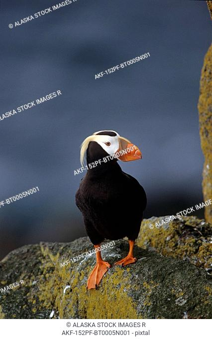 Tufted Puffin on Cliff Round Island Western AK