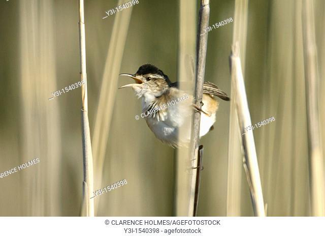 Marsh Wren Cistothorus palustris calling from the reeds at Marshlands Conservancy, Rye, New York, USA