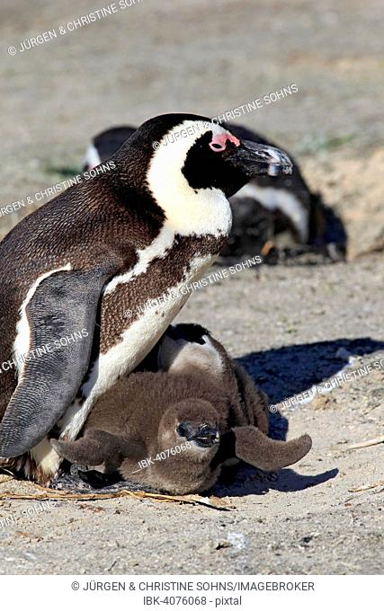African Penguin (Spheniscus demersus), adult with young, Boulders Beach, Simon's Town, Western Cape, South Africa