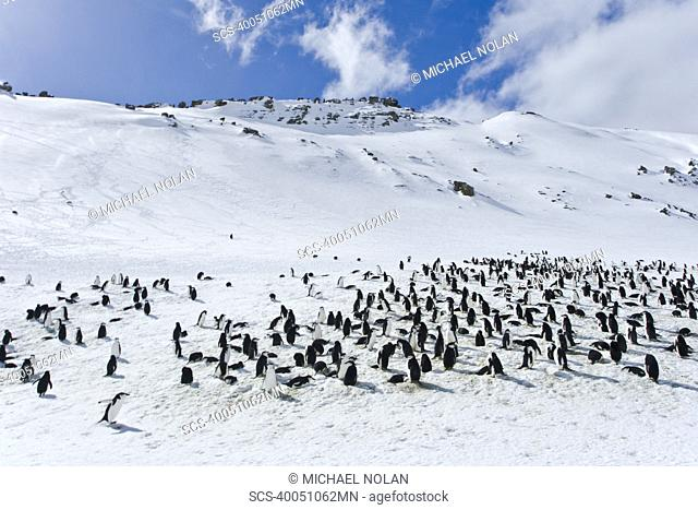 Chinstrap penguin Pygoscelis antarctica colony on Bailey Head on Deception Island in the South Shetland Islands near the Antarctic Peninsula There are an...