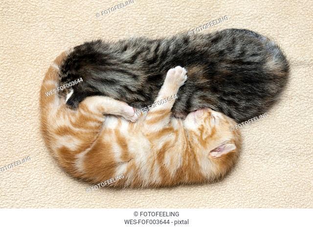 Germany,Ginger kittens sleeping on blanket, close up