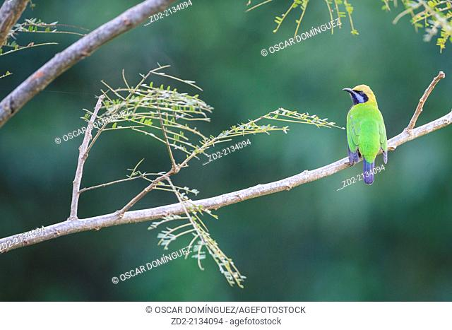 Orange-bellied Leafbird (Chloropsis hardwickii) male perched on branch. Doi Lang. Doi Pha Hom Pok National Park. Thailand