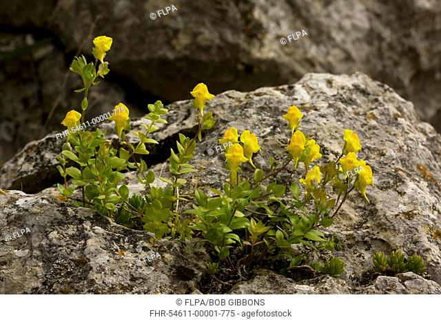 Yellow-flowered Toadflax Linaria platycalyx flowering, growing on limestone rock, Grazalema, Andalucia, Spain