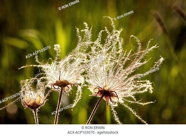 Prairie Smoke (Geum triflorum) native wildlfowers in seed, Misery Bay Provincial Park, Ontario, Canada