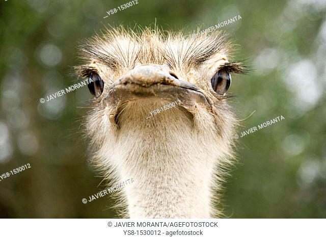 Spain, Balearic Islands, Mallorca, Portrait of ostrich in captivity