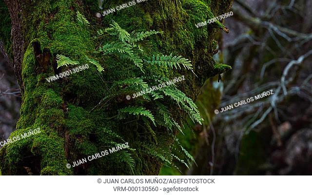 Ferns in Beech forest